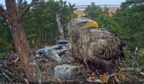 Screenshot Seeadler Nest, Estland